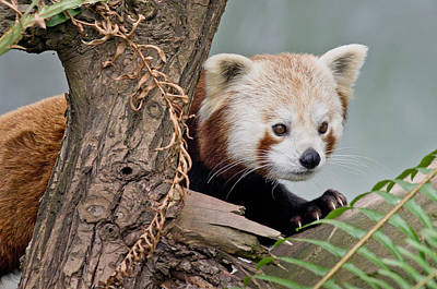 Stealthy Red Panda Print by Greg Nyquist