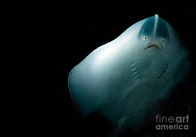 Soaring Photograph - Stingray by Jane Rix