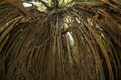 Strangler Fig Photograph - Strangler Fig Tree, Ficus Virens, Known by Tim Laman