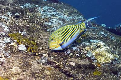 Pyjama Photograph - Striped Surgeonfish by Georgette Douwma