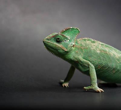 Vilnius Photograph - Studio Shot Of Chameleon by Sarune Zurba