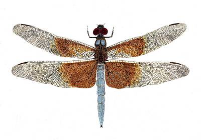 Study Of A Female Widow Skimmer Dragonfly Print by Thom Glace