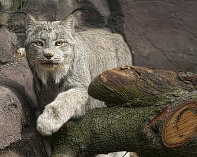 Canadian Lynx Photograph - Stunning by Cheri McEachin