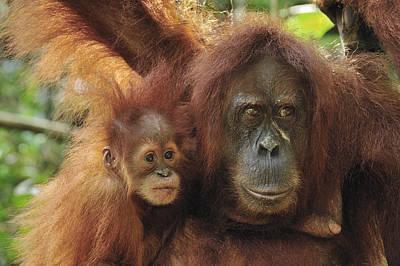 Sumatran Orangutan Pongo Abelii Mother Print by Thomas Marent