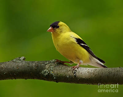 Summer Joy - Male Gold Finch Print by Inspired Nature Photography Fine Art Photography