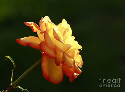 Summers Glow- Elegant Rose Print by Inspired Nature Photography Fine Art Photography