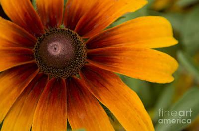 Coneflowers Photograph - Sun Burst by Heather Applegate
