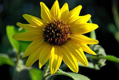 Sunflower Print by Anthony Citro