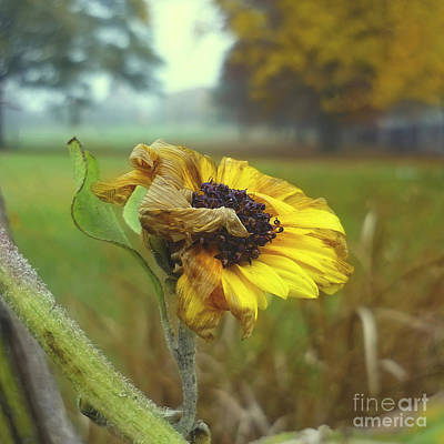 Sunflower At Summers End Print by Jeff Breiman