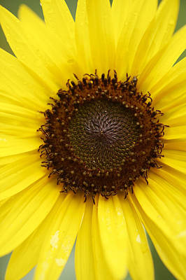 Y120907 Photograph - Sunflower (helianthus Annuus) by Cameron Davidson