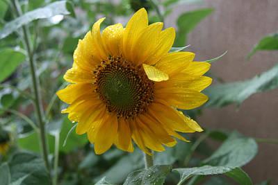 Elizabeth Rose Photograph - Sunflower In The Rain by Elizabeth Rose