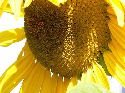 Sunflower Love  Print by Pamela Patch
