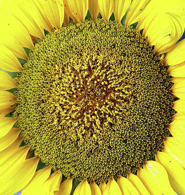 Sunflower Print by Nenov