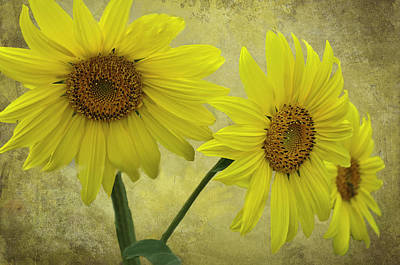Trio Photograph - Sunflower Trio by Diane Schuster