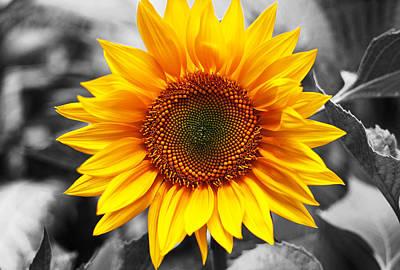 Sunflowers 3 Print by Sumit Mehndiratta