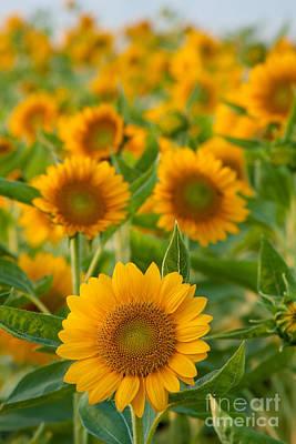 Sunflowers Original by Atiketta Sangasaeng