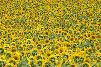 Sunflowers Print by Ron Smith