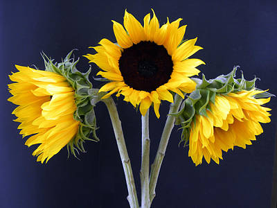 Sunflowers Three Print by Sandi OReilly