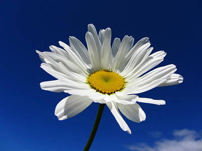 Sunlight Daisy Print by By Merete Stava