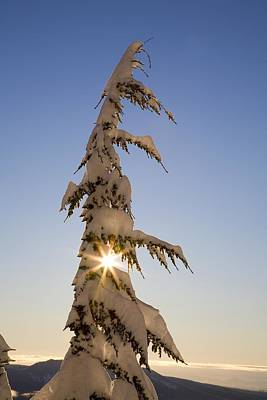 Sunlight Through Snow-covered Tree Print by Craig Tuttle