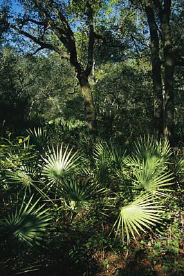 Palmetto Plants Photograph - Sunlit Palmettos In A Woodland by Raymond Gehman