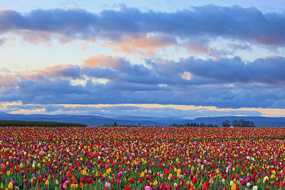 Sunrise Over A Tulip Field At Wooden Print by Craig Tuttle