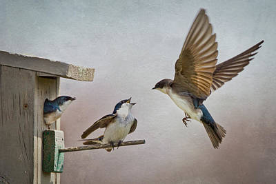 Tree Swallow Photograph - Swallows At Birdhouse by Betty Wiley