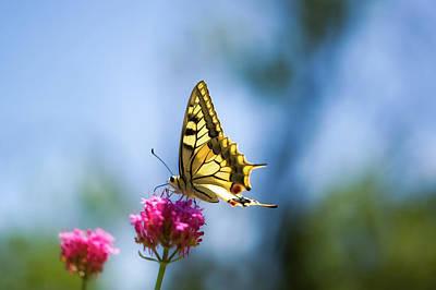 Swallowtail Butterfly On Pink Flower Print by Alexandre Fundone