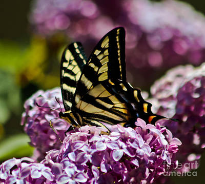 Swallowtail On Lilac 2 Print by Mitch Shindelbower