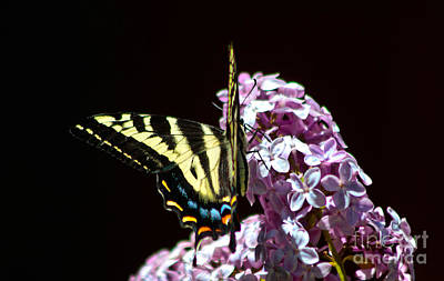 Swallowtail On Lilac 3 Print by Mitch Shindelbower