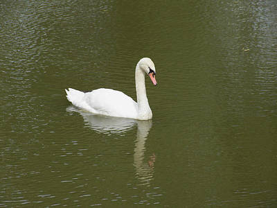Swan Looking At Reflection Print by Corinne Elizabeth Cowherd