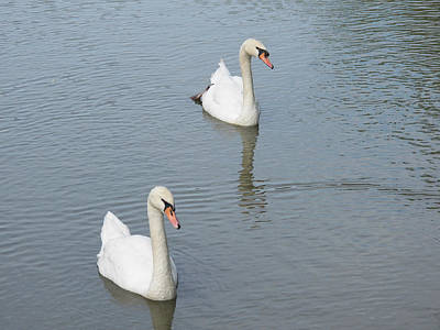 Swans Drifting Along Print by Corinne Elizabeth Cowherd