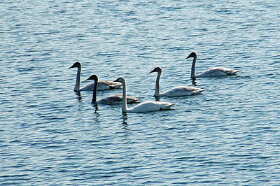 Swans Swimming Print by Aimee L Maher Photography and Art Visit ALMGallerydotcom