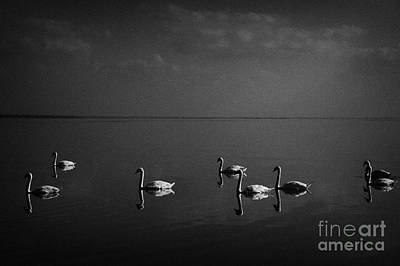 Swans Swimming On Lough Neagh Northern Ireland Print by Joe Fox