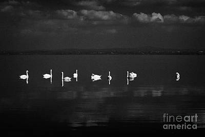Swans Swimming On Still Lough Neagh County Antrim Northern Ireland Print by Joe Fox