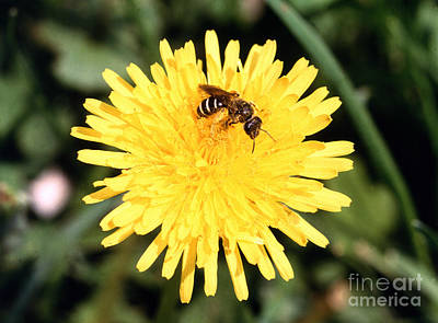 Sweat Bee Print by Science Source