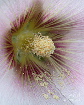 Hollyhock Photograph - Sweet Dreams by Wendy Mallaber