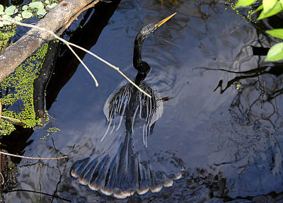 Anhinga Photograph - Swimming Bird by David Lee Thompson