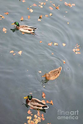 Swimming Ducks And Autumn Leaves Print by Kathleen Pio