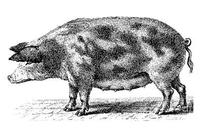 Swine Print by Granger