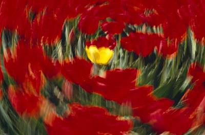 Swirling View Of Blooming Tulip Flowers Print by Natural Selection Craig Tuttle