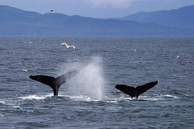 Tail Flukes Of Diving Humpback Whales Print by Ralph Lee Hopkins