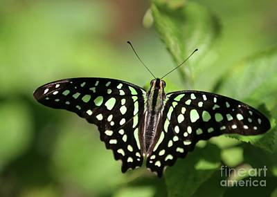 Butterfly In Flight Photograph - Tailed Jay Butterfly by Sabrina L Ryan