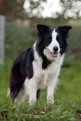 Taj - Border Collie Print by Michelle Wrighton