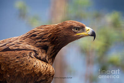 Pete Reynolds Photograph - Tawny Eagle by Pete Reynolds