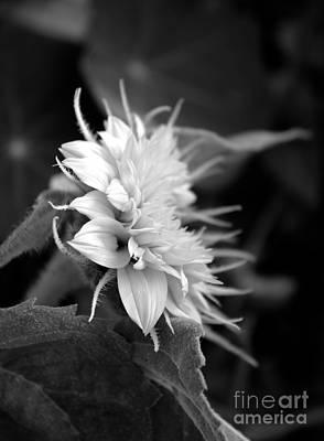 Teddybear Photograph - Teddybear Sunflower Black And White by Marjorie Imbeau
