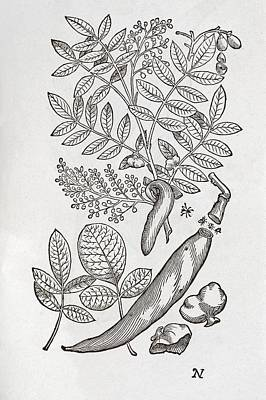 Terebinth Plant, 16th Century Print by Middle Temple Library