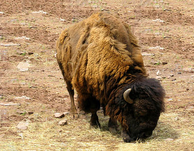 The American Buffalo Print by Bill Cannon