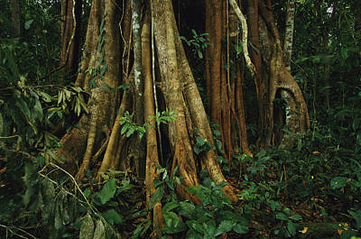 Strangler Fig Photograph - The Buttressed Roots On A Strangler Fig by Steve Winter