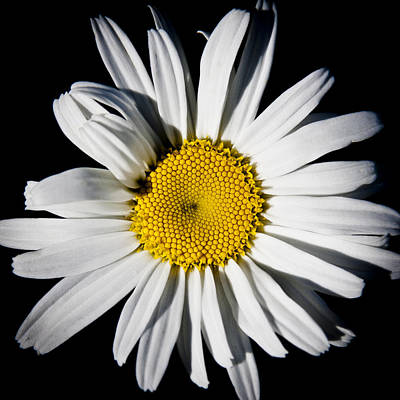 The Daisy Print by David Patterson